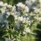 Amerikanische Minze Pycanthemum pilosum Samen