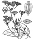 Herkulesheilwurz Opopanax chironium Samen