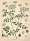 Gefleckter Schierling Conium macalatum Samen
