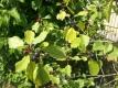 Faulbaum Rhamnus frangula Samen