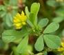 Fadenklee Trifolium dubium Samen
