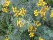 Rainfarn Wurmkraut Chrysanthemum vulgare Pflanze