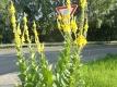 Prachtkönigskerze Verbascum speciosum Samen