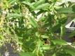 Zitronenverbene Aloysia triphylla Samen