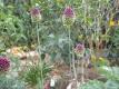 Kugelköpfiger Lauch Allium sphaerocephalum Samen