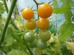 Tomate Big Sungold Select Samen