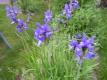 Schmalblättrige Wieseniris Taubenblau Pflanze