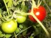 Tomate Grit kartoffelblättrig Samen