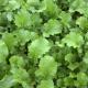 Winterrübse Brassica rapa ssp.oleifera Samen