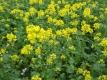 Gelbsenf Sinapis alba Samen
