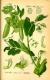 Eiweißerbse Pisum sativum convar.Arvense Samen