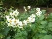 Alte Kartoffelsorte Heiderot Samen