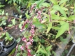 Japanischer Wasserpfeffer Persicaria hydropiper 'Fastigiata'Samen
