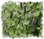 Blauschwokker Pisum sativum Samen