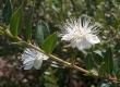 Myrte Myrtus communis Samen
