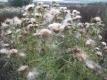 Wollkopfkratzdistel Cirsium eriophorum Samen
