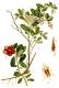 Preiselbeere Vaccinium vitis idaea Samen