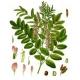 Spanisches Süßholz Glycyrrhiza glabra Samen