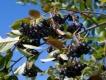 Apfelbeere Hugin Pflanze