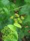 Stängelumfassende Gelbdolde Smyrnium perfoliatum Samen