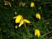 Goldclematis Clematis tangutica Samen