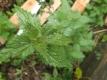 Große Brennessel Urimed Urtica dioica Pflanze