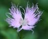 Fransennelke Dianthus monspessulanus Pflanze