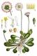 Gänseblümchen ausdauernd Bellis perennis Pflanze