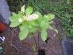 Silberkerzenstrauch Pflanze