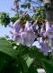 Blauglockenbaum Pawlonia tomentosa Samen