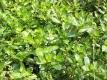 Bachbunge Veronica beccabunga Pflanze