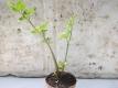 Chinesischer Sellerie Khuen Chai Pflanze