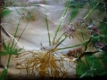 Baldrian Valeriana officinalis Pflanze