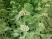 Andorn Marrubium vulgare Pflanze