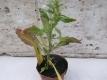 Mexikanischer Tee Chenopodium ambrosioides Pflanze