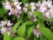 Erdbeerduft Sternchenstrauch Pflanze