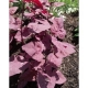 Rote Gartenmelde Atriplex hortensis var. rubra Pflanze