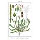 Hirschhornsalat Plantago coronopsis Pflanze