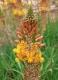 Katzenschwanzpflanze Bulbine fructescens Pflanze