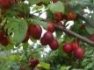 Schlesische Katharinenpflaume Pflanze
