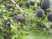 Blaue Kirschpflaume(Prunus cerasifera)Pflanze
