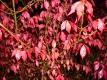 Asiatischer Korkflügelstrauch Pflanze