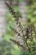 Baumbasilikum Ocimum gratissimum Pflanze