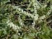 Madeirawein Anredera cordifolia Pflanze