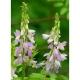 Geißraute Galega officinalis Pflanze