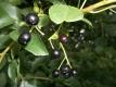 Steinweichsel Felsenkirsche Prunus mahaleb Samen