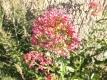 Rote Spornblume Centranthus ruber Samen