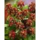 Japanische Weinbeere (Rubus phoenicolasius)Samen