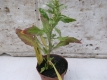 Mexikanischer Tee Chenopodium ambrosioides Samen