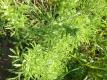 Eberraute Artemisia abrotanum Samen